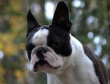portrait of boston terrier - 230714045