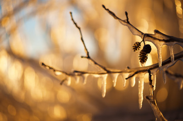Icicles hanging from the branches and lit by the setting sun.