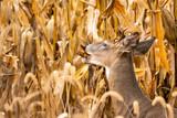 Whitetail buck in corn field - 230719877