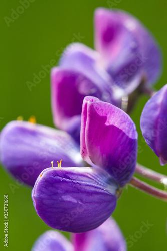 Flower blue lupine super close up and blur  - 230721660