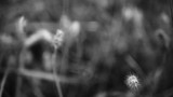 Black and white footage of tall grass. - 230727062