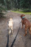 Dogs walking in forest on leash