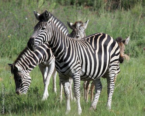 Zebra grazing in South Africa