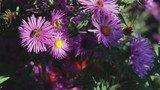 Adult bees collect nectar from purple, autumn flowers. Beekeeping, Indian summer - 230731426