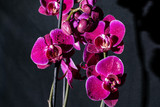 violet orchids with water pearls