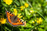 Close-up of Aglais urticate, small totoiseshell,sitting on buttercup