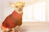 Chihuahua dog wearing sweater   on  background