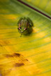 Young reed frog sitting on a big leaf