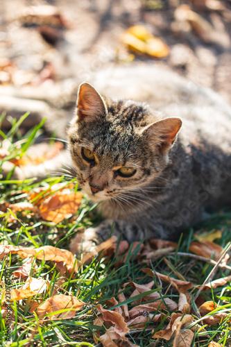 szary kot chodzenia