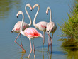 Leinwandbild Motiv Four flamingos (Phoenicopterus ruber) in water, two flamingos form a heart with their necks, in the Camargue is a natural region located south of Arles in France