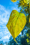 big leaf with blue sky in background - 230772217