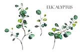 Set watercolor elements -  herbs, leaf. collection eucalyptus.  illustration isolated on white background,  leaf. Botanic - 230777065