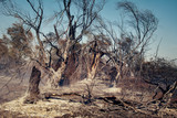 Burnt trees after a forest fire - 230795806