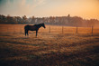 Quadro Arabian horses grazing on pasture at sundown in orange sunny beams. Dramatic foggy scene