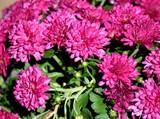 Vibrant pink Mum flowers background - 230805880