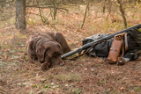 labrador dog sleeping near hunter shotgun ,cartridge belt and backpack in the autumn forest