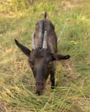 Portrait of a black goat on a pasture - 230838845