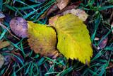 wet autumn leafage on green grass - 230838890