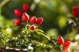 Red rosehip berries in a vegetable garden © schankz