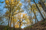 Oak trees in a forest in autumn - 230845888