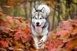 Leinwanddruck Bild - Alaskan Malamute dog for a walk in the woods
