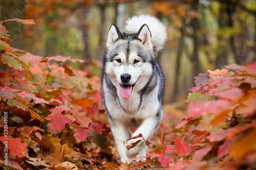 Leinwanddruck Bild Alaskan Malamute dog for a walk in the woods