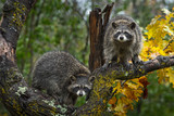 Raccoons (Procyon lotor) Look Out From Autumn Tree - 230858225