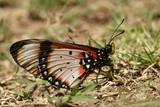 Acara Acraea butterfly showing underwing pattern.