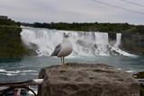 Gull in Front of Niagara Waterfalls