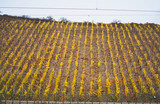 Vineyard with yellow leaves in autumn, lower franconia, bavaria - 230877001