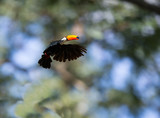 Toco Toucan flying with wings outstretched in flight and blurred forest jungle in background - 230877834