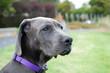 Silver Great Dane Mastiff Head Shot