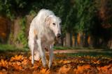 Russian borzoi dog funny autumn portrait long nose - 230888420