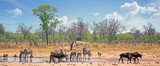 Landscape of a busy vibrant waterhole with Zebra and Sable Antelope against a satureal bush background and blue wispy sky.  Hwange National Park, Zimbabwe - 230892084