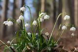 Frühlingsknotenblumen im Wald