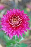 розовые хризантемы - 230907268