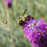 Bee on Wildflower with Friend - 230914815