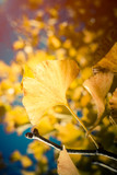 Close up of Yellow Ginkgo leaf when the sunshine in Japan Autumn - 230915817