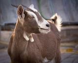 portrait of a goat - 230917873