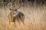 Buck Portrait in Tall Grass