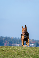 Happy dog, Doberman Lab mix, running and playing in a grassy field with a hillside neighborhood and blue sky in the background