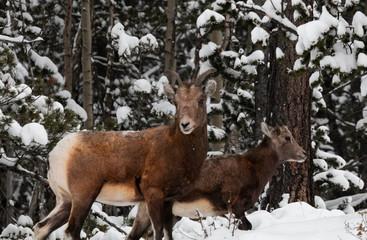 Bighorn Sheep in Deep Snow