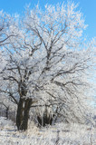 trees on the edge of an oak grove in a hard frost, with branches covered with hoarfrost
