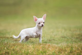 Chihuahua puppy in summer