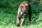 Indian royal tiger in forest