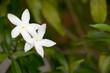 White Gardenia Crape Jasmine