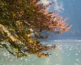 Buche mit bunten Blättern am See im Herbst - 230949654
