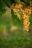 ripe white grape n vineyard in autumn just before harvest