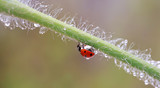 A small red ladybird is walking around the plant and looking for aphids. - 230955440