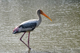 Painted Stork searching for food in water lake